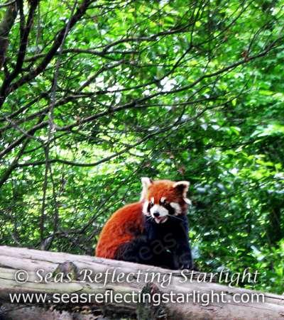 Cheerful Red Panda