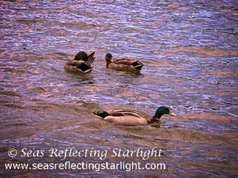 Feathered Flirtations-by Seas Reflecting Starlight
